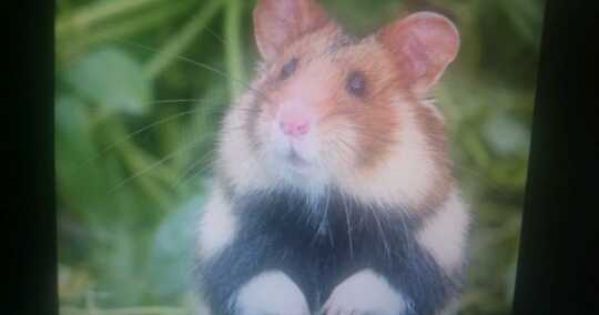 Le grand Hamster d'Alsace (la Marmotte de Strasbourg) vous appelle à Résistance...contre le bitume de Vinci-autoroute