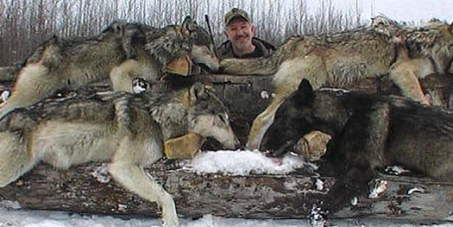 UNTIL MONTANA CALLS OFF STATE SANCTIONED WOLF HUNTS, WITHHOLD YOUR TOURISM DOLLARS FROM MONTANA.