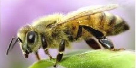 Wireless SmartMeters added to Cell Phones threaten our Bees