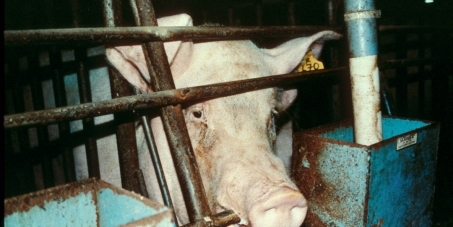 Thank you Avaaz for enabling 2920 people to speak out loud and clear on behalf of breeding sows in South Africa. We want sow stalls - the metal 'straighjacket' that prevents all movement - banned - for being the cruel confinement that it is. Compassion in World Farming SA will pass on this petition to supermarkets and the South African Pork Producers Organisation.