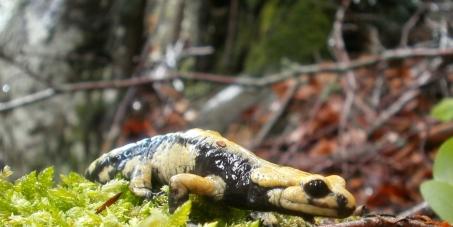 Save the golden Alpine salamander!