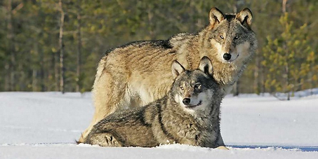 Stop the killing of one fifth of the Lithuanian wolves!