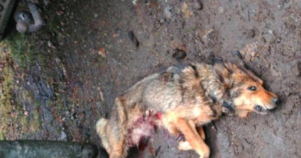 Xunta de Galicia: Stop á nova batida de lobo en Friol
