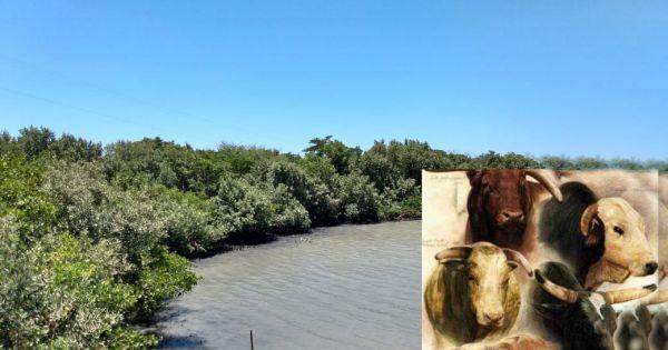 Não deixe a boiada passar sobre os nossos manguezais e restingas