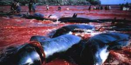 Walschlachten auf den Färöer Inseln stoppen !
