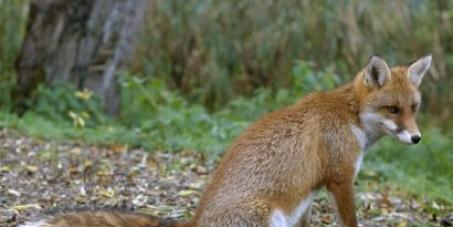 Pour que le Renard soit maintenu dans la liste des espèces classées nuisibles en FRANCE
