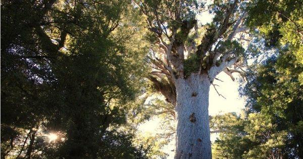 Save Tāne Mahuta - the world's largest kauri tree