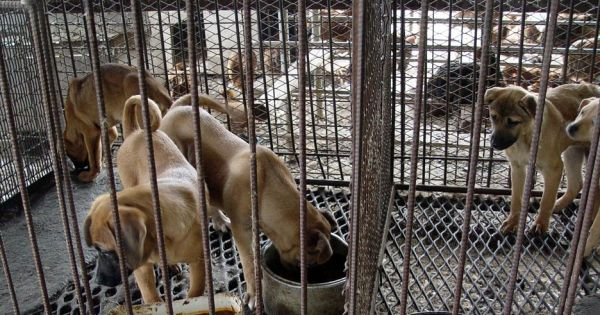 Gangneung, South Korea, Shut down the illegal dog farms!