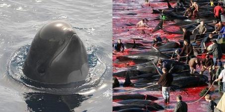 Прекратить убийство Калдеронских дельфинов на Фарерских островах!!!To stop murder of Kalderonsky dolphins on Faeroes!!!