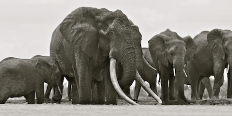 President Kenyatta of Kenya, please give presidential protection to the last great tuskers & arrest the traffickers.