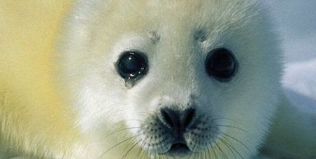 An end to Canada's commercial seal hunt