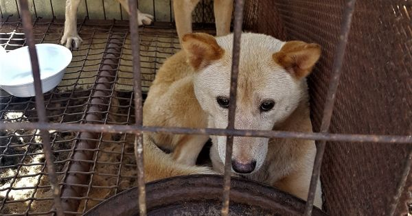 Gapyeong, South Korea, Shut down the illegal dog farms!