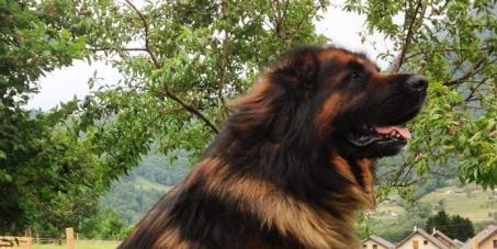 A madame Taubira ministre de la justice: L'ouverture d'une enquête judiciare pour le vol de Dandy chien Leonberg