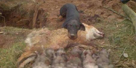 FERMIAMO LA STRAGE DI 500 VOLPI NELLA PROVINCIA DI PISA - STOP THE MASSACRE OF 500 FOXES