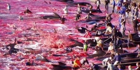 Stop au massacre de dauphins aux Îles Féroé