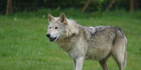 Sauvons le loup dans les Alpes !