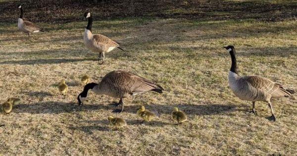 Stop Canadian Goose Egg Destruction