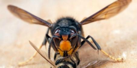 Parlamento italiano: Provvedimenti urgenti contro la Vespa Velutina, minaccia per le api