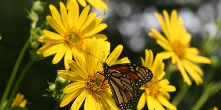 President Obama: Please increase funding and awareness to save the Monarch butterfly migration.