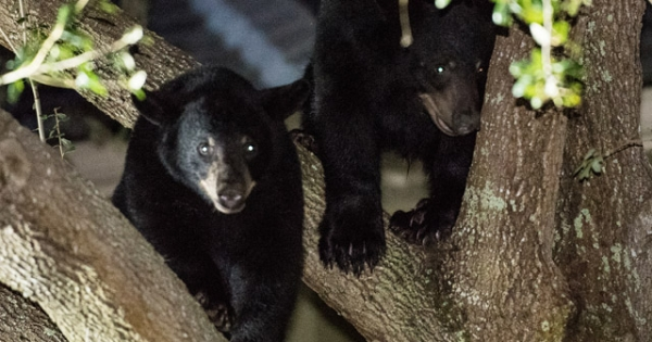 Say NO to a Florida Black Bear Trophy Hunt in 2016: Tell Governor Scott to Let Scientists Run the FWC!