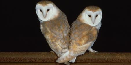 Save Britain's Barn Owls