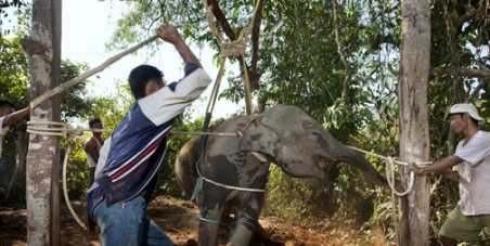 General Prayuth Chan-Ocha, Commander & Chief, Thailand.: Ban The Tradition Of 'Crushing' Juvenile Elephants For Thai Tourism.