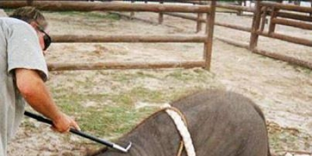 Stop abusing baby Elephants for the tourist trade in Thailand
