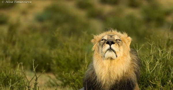 Kgalagadi Transfrontier Park border Lion killings and governance problems.
