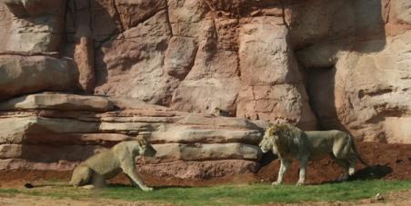 Nous voulons que les Lions de l'Atlas soient Réintroduits dans leur milieu naturel au Maroc