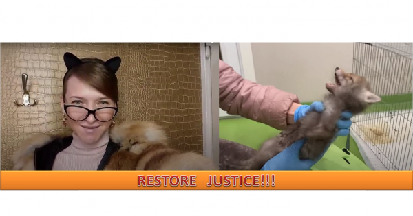 The wild fox from Athena-TV is NOT a toy — send him to an animal rehabilitation center!