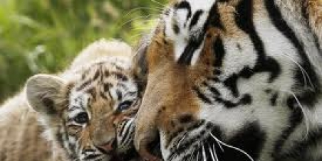 Russia: Stop Poaching of Amur Tigers