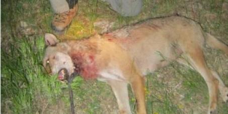 Le loup doit être protégé depuis 1990!