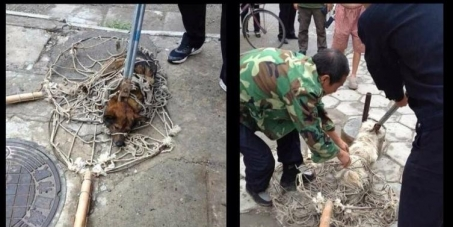 Concern Animal Heart Ltd: Chinese Zhangjiakou Government bloody hit dog to apply for Winter Olympics