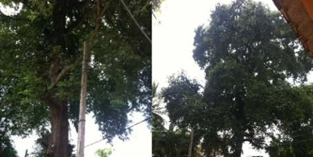 Save the Old Tamarind Tree in Battaramulla