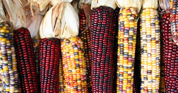 Stop Roll-out of GMO Crops in Ethiopia
