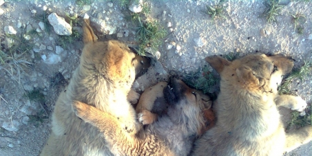 EVERY WEEK the HORROR STARTS OVER AND OVER AGAIN for Jordan's STRAYS - at least 60 puppies and dogsshot randomly -