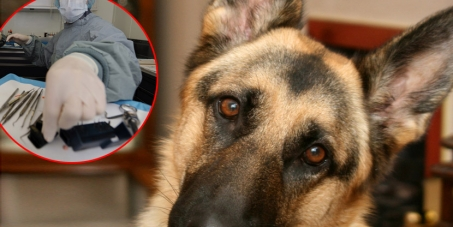 Government of Serbia: Stop Serbian army to sacrifice German Shepherds for experiment!