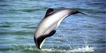 Save The Maui's Dolphin