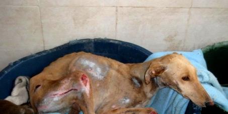 L'interdiction de la chasse avec les Lévriers en Espagne