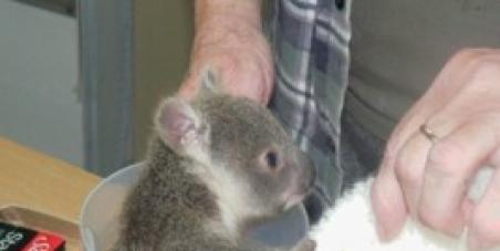 Save Australia's koalas