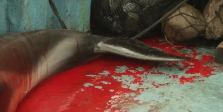 Detener y penalizar la caza de delfines en las costas del Perú