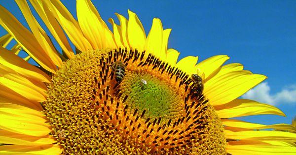 Salvati albinele Romaniei