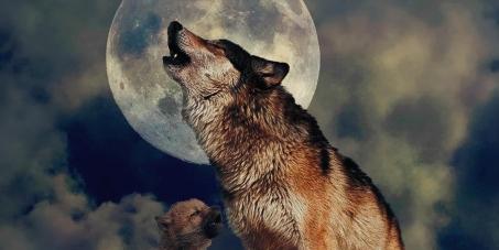 La protección del Lobo Ibérico (canis lupus signatus), en TODO el territorio nacional