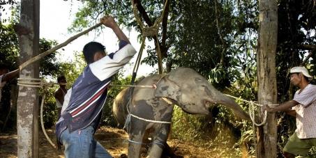 S'il vous plaît mettre fin à l'esclavage des éléphants dans les plantations illégales de caoutchouc