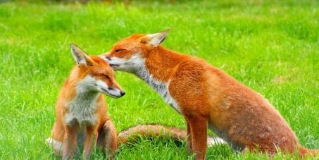 ΠΡΟΣ ΕΛΛΗΝΙΚΟ ΚΟΙΝΟΒΟΥΛΙΟ: Έξοδος της αλεπούς από τα θηρεύσιμα είδη κι ένταξή της στα προστατευόμενα είδη