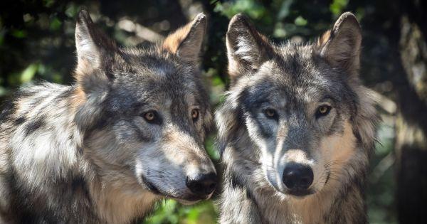 der Wolf soll auch im Allgäu geschützt bleiben