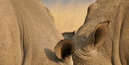 Protect the rhino population of South Africa by keeping awaiting trial poachers in prison