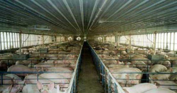 Contre le projet de ferme-usine de 3000 porcs à Saint Gildas des Bois!