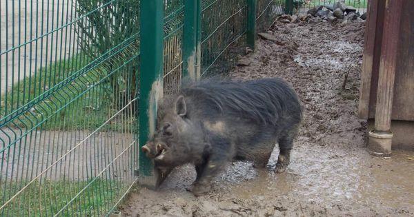 Sauvons Hector, le cochon du parc animalier d'Athus!