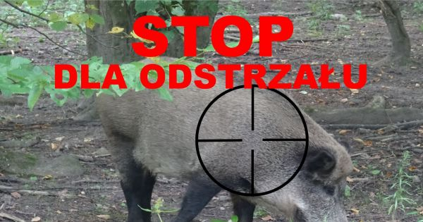 Ministerstwo Środowiska : Masowe zabijanie dzików w Polsce